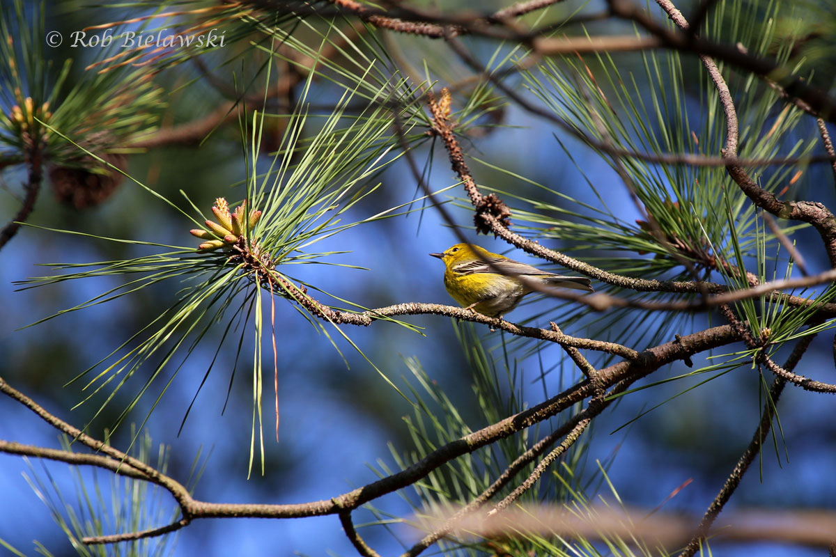 Beautiful little Pine Warbler in it's namesake tree at Pleasure House Point.