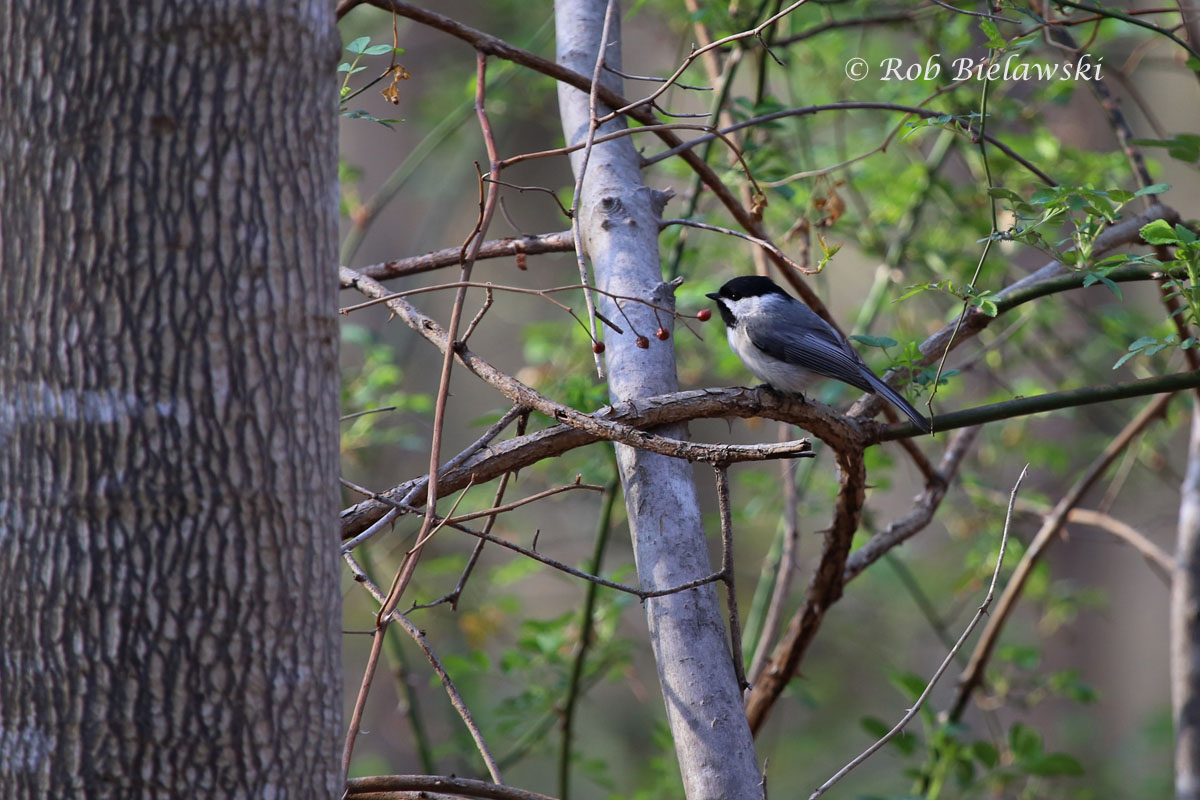 Carolina Chickadee watching as the leaves start to come out in Fairfax County.