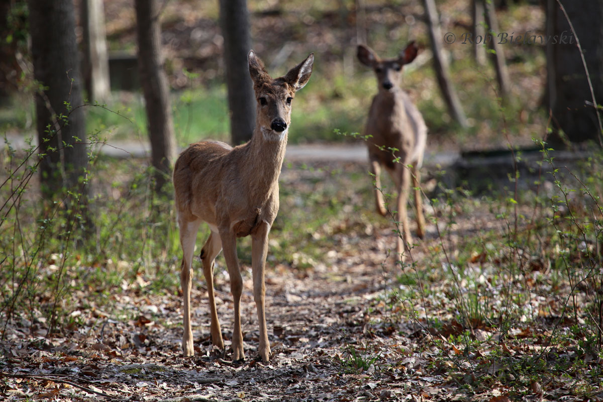 White-tailed Deer on the run in the South Run Stream Valley of Fairfax County.
