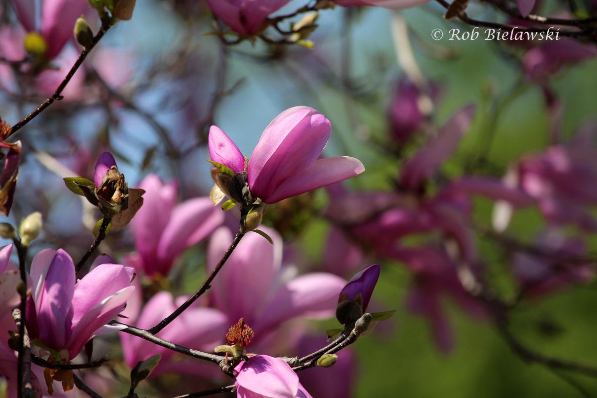 Magnolia in full bloom at the Norfolk Botanical Gardens!