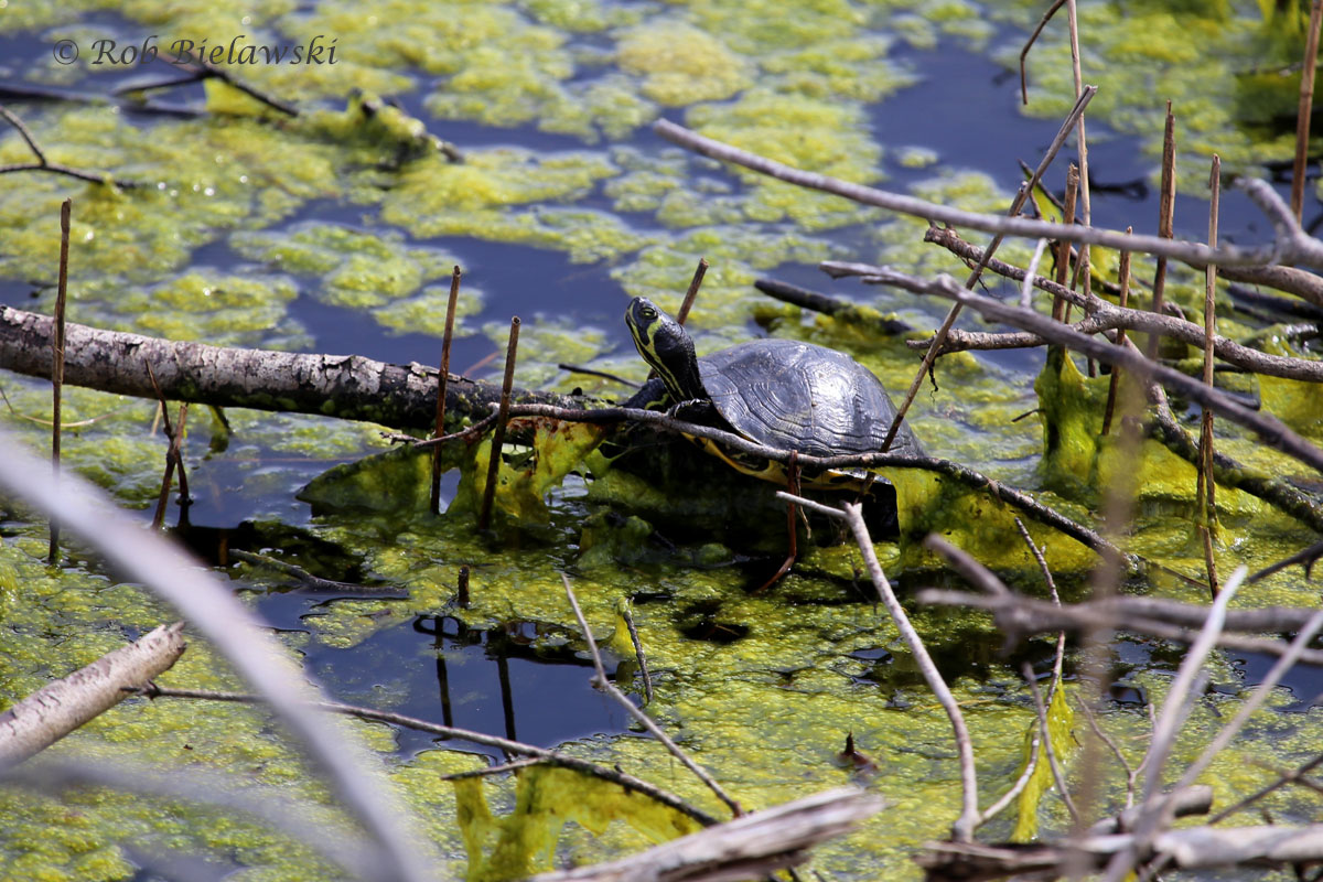 Yellow-bellied Slider at Back Bay NWR...the turtles are all back out for the spring.