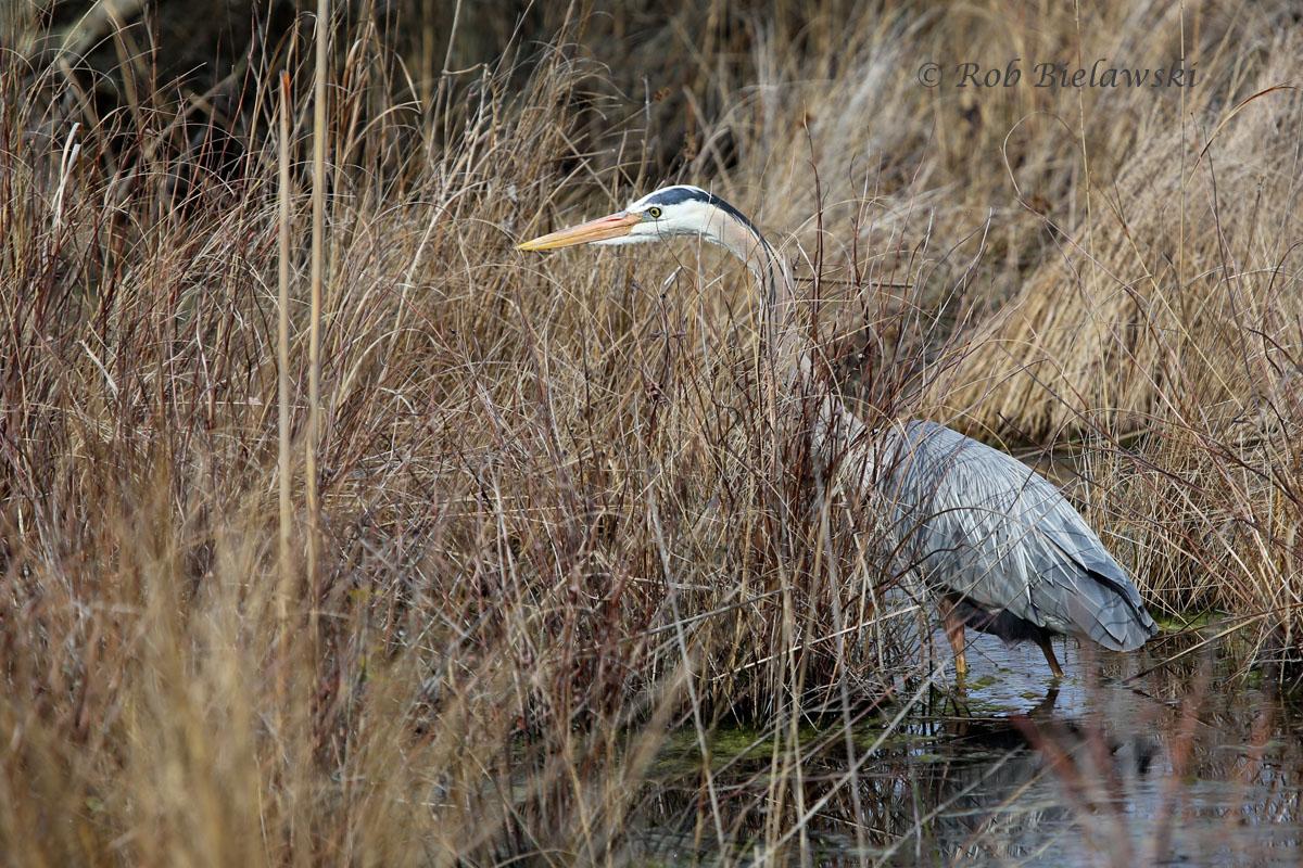 Great Blue Heron at Back Bay National Wildlife Refuge.