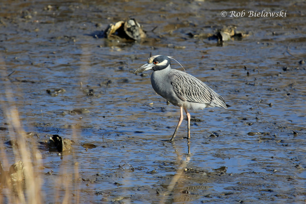The Yellow-crowned Night-Herons have returned to Pleasure House Point for the Summer!