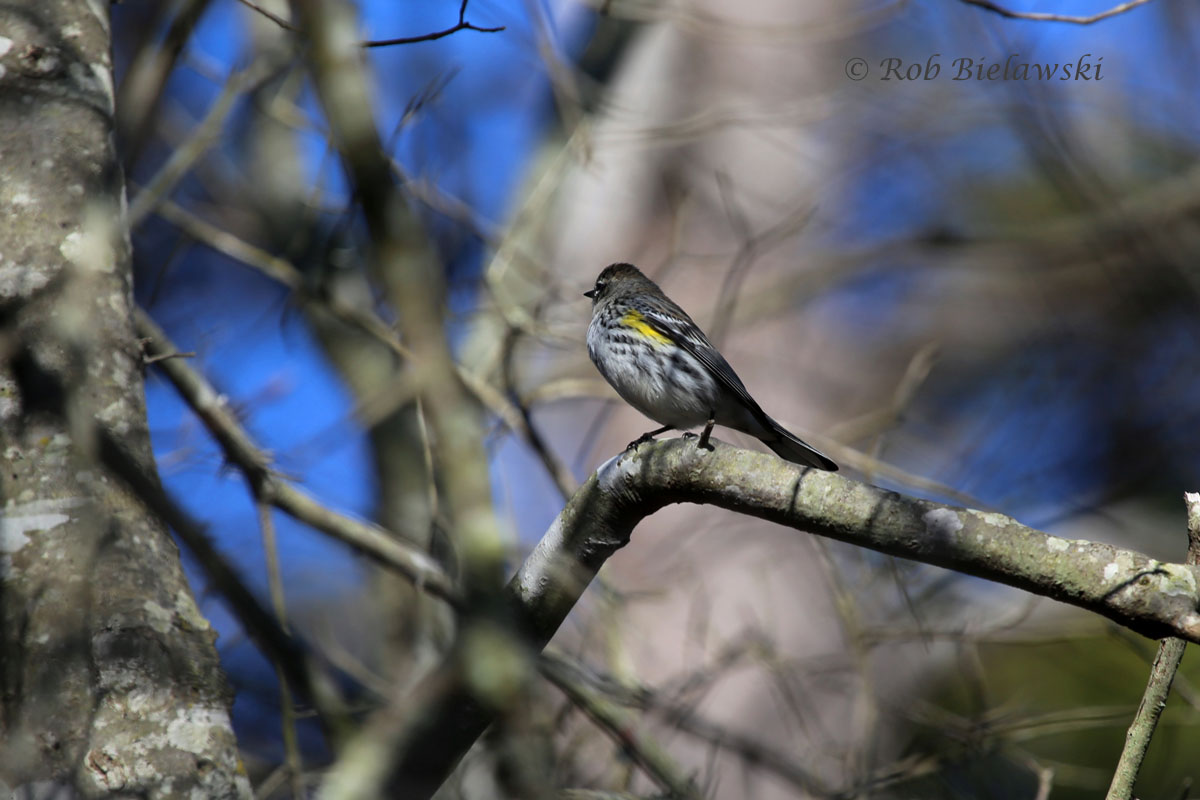 The almost best photo I've ever taken of a Yellow-rumped Warbler...if it hadn't turned it's head.