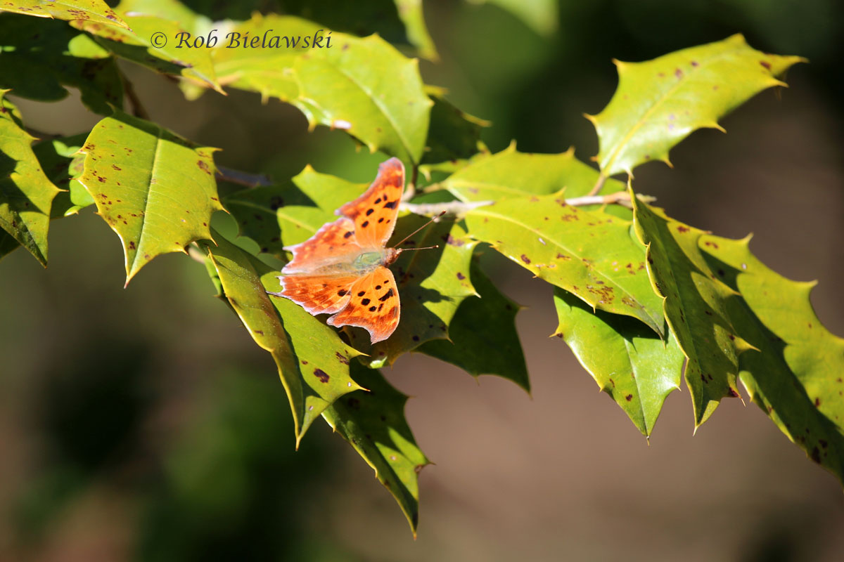 My first butterfly of the season, a Question Mark Butterfly at First Landing SP.