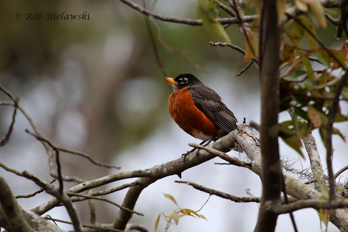 The only colorful bird seen on an otherwise dreary day at First Landing State Park, an American Robin.