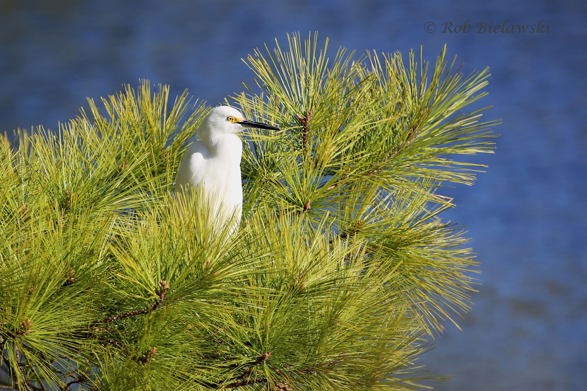 Snowy Egret seeking out shelter from the wind in a large pine tree at Pleasure House Point.