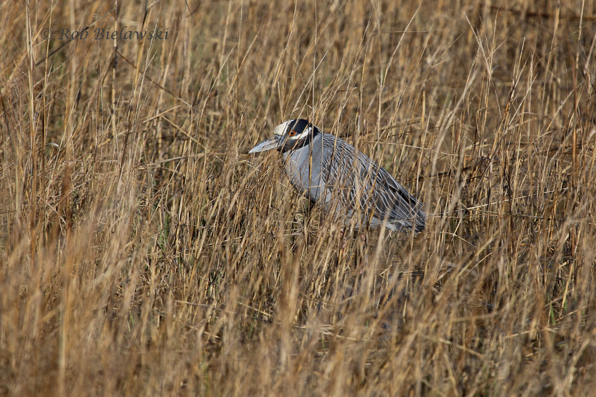 My first Yellow-crowned Night-Heron photo on the season, taken at Pleasure House Point!