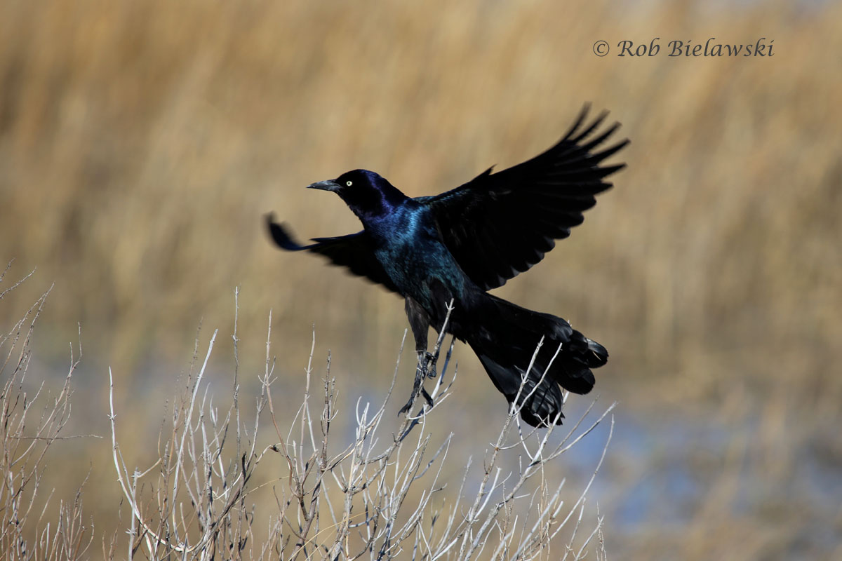 Boat-tailed Grackle at Pleasure House Point in Virginia Beach.