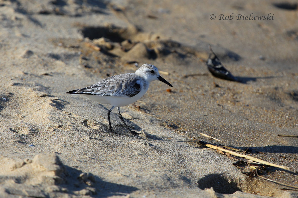 Sanderling striking a pose along the north end of Virginia Beach's oceanfront.