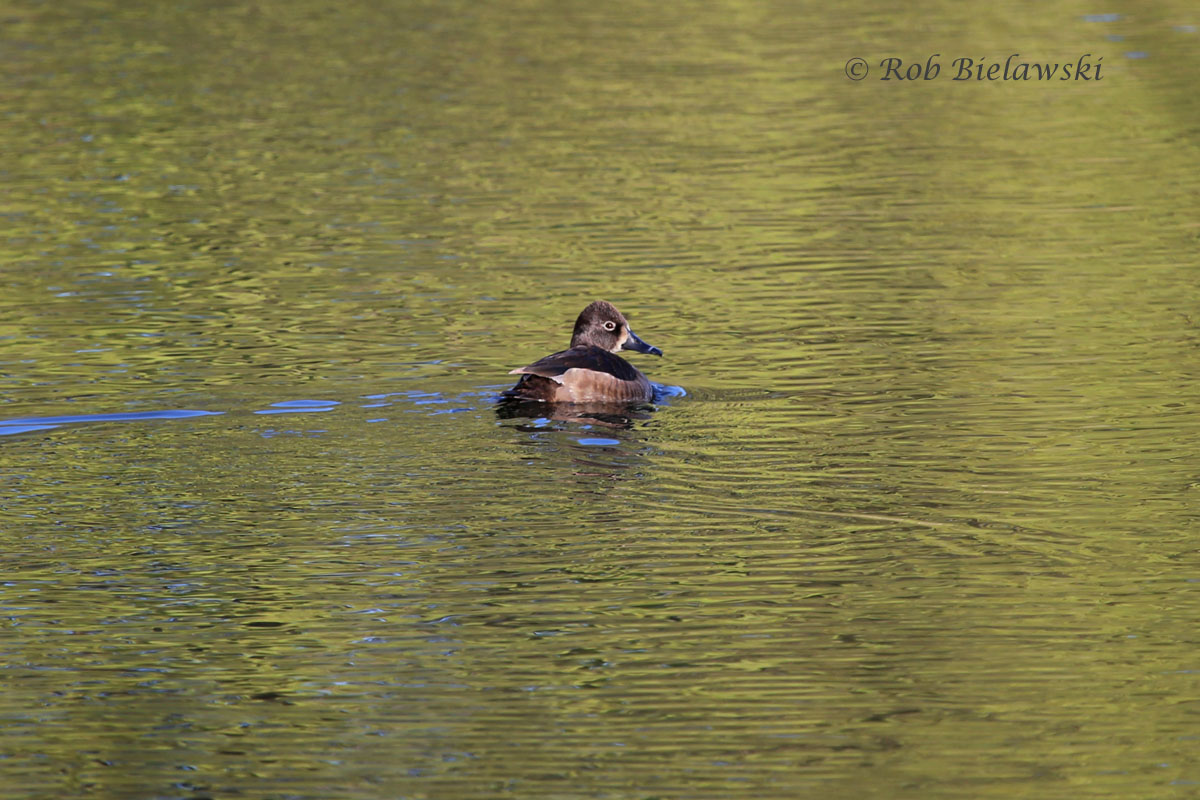 Female Ring-necked Duck on a sunlit freshwater pond at Pleasure House Point Park.