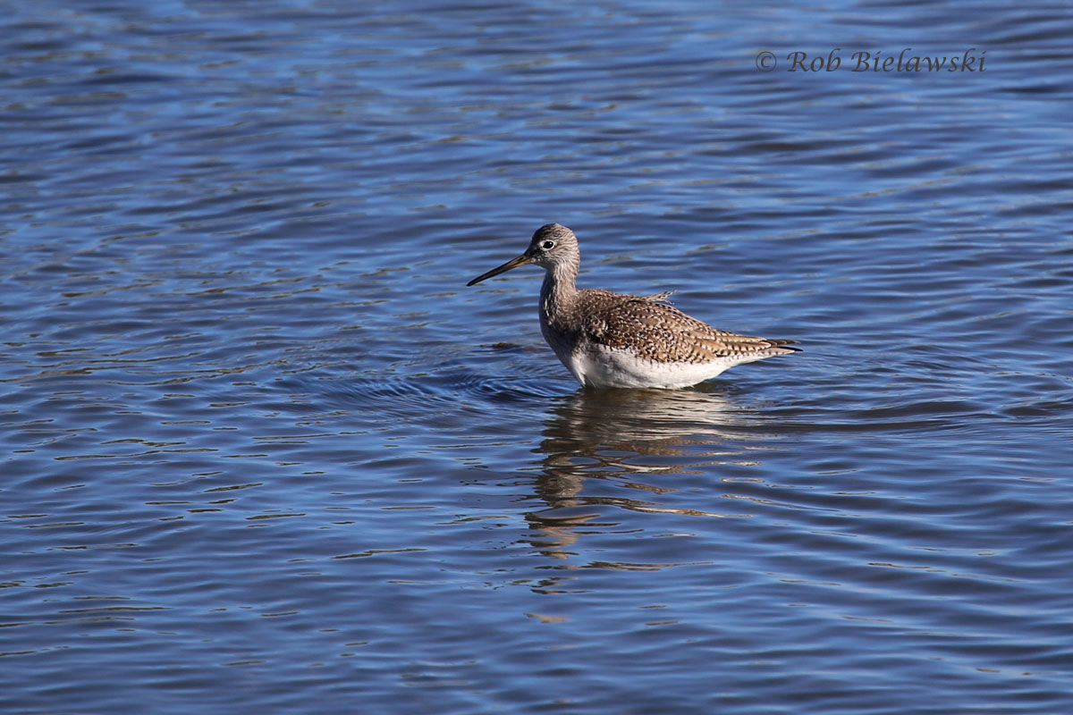 Greater Yellowlegs wading waist deep in the tidal waters of Crab Creek at Pleasure House Point Park.