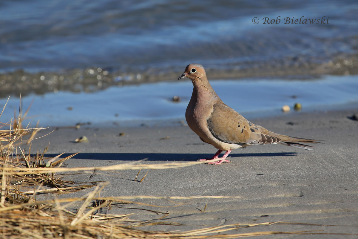 Mourning Dove sitting on the beach at Pleasure House Point, where I'd hope to instead find a Harbor Seal.