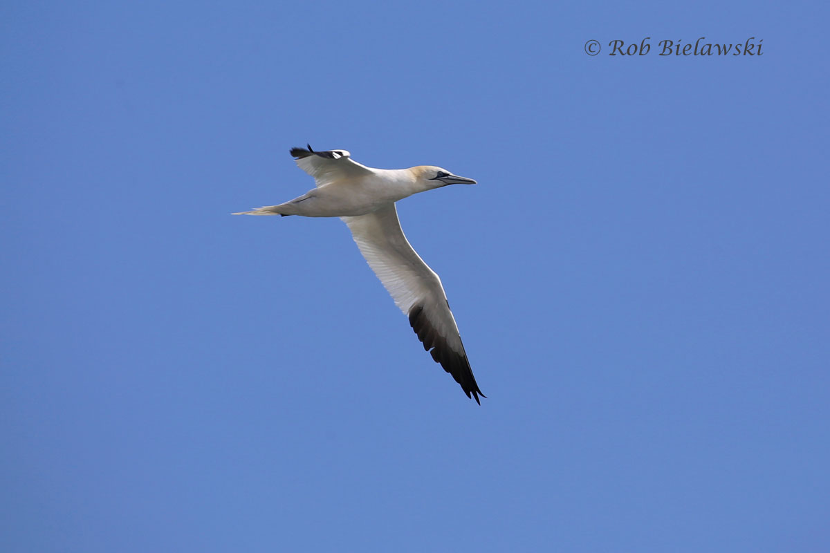 This Northern Gannet flew in close enough to shore for me to finally get a clear shot of one!