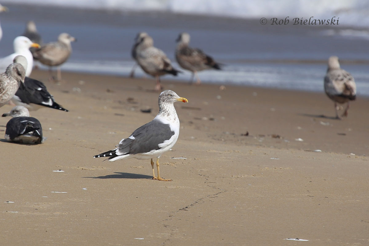 Lesser Black-backed Gull sits in front of the large flock of gulls along the beach.