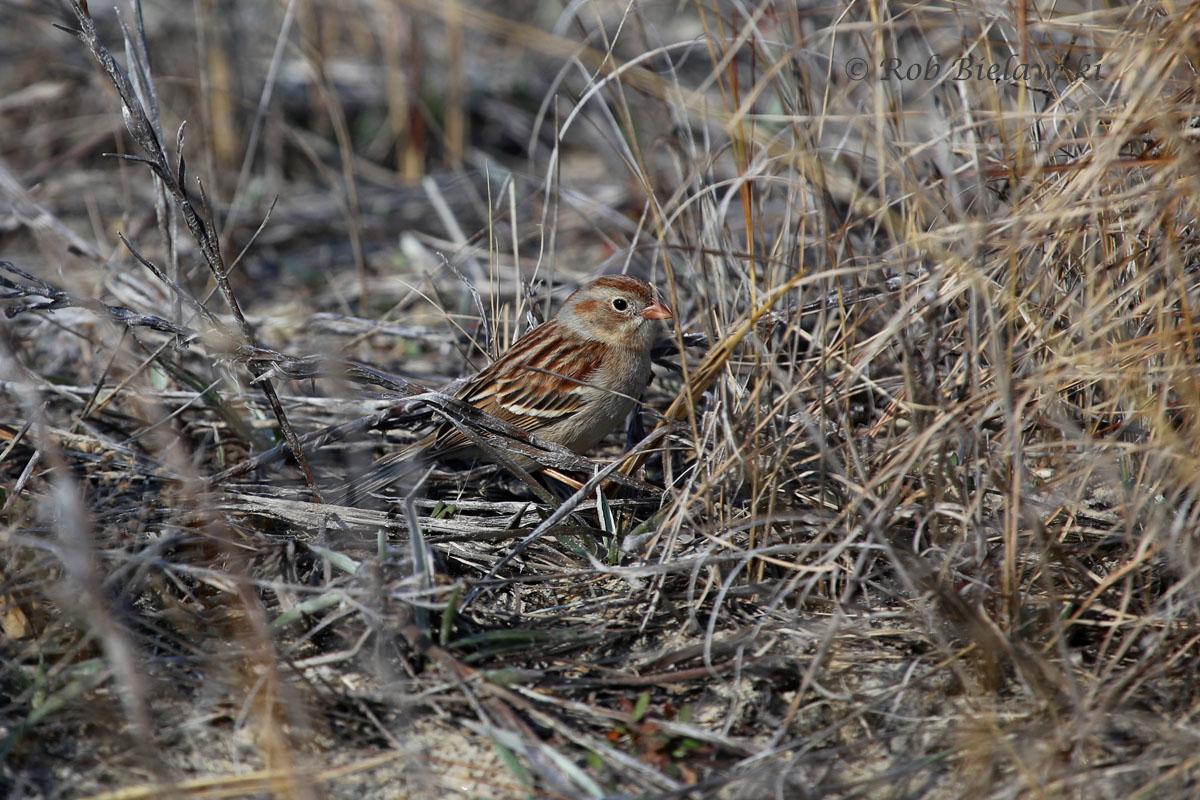 Field Sparrow along the loop road at Back Bay National Wildlife Refuge.