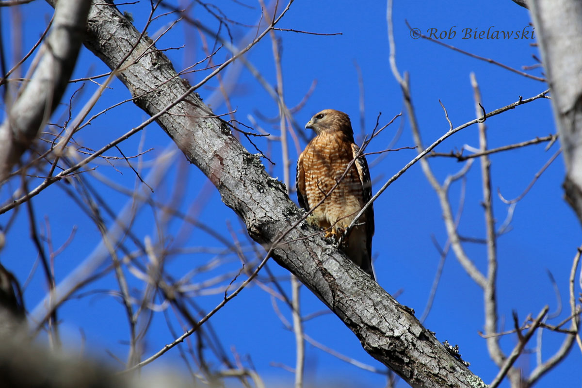 My first Red-shouldered Hawk on the year. This one might have a nest nearby!