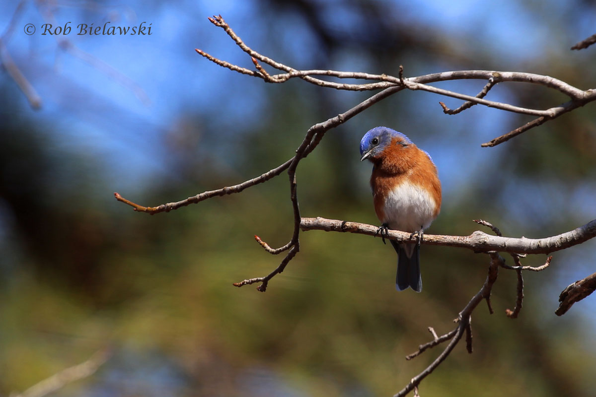 Eastern Bluebird near the junction of the Greensprings & Powhatan Creek Trails.