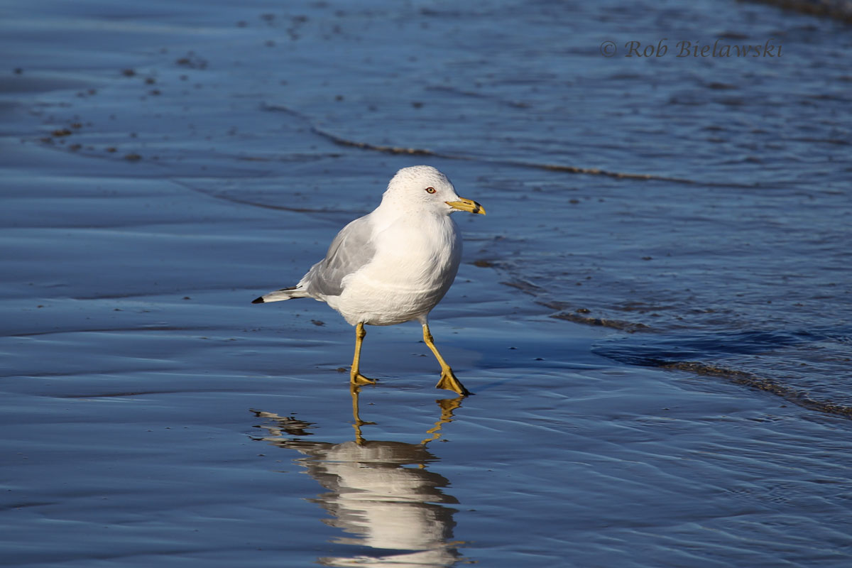 Ring-billed Gull showing off his side-stepping moves at East Beach, Norfolk, VA.
