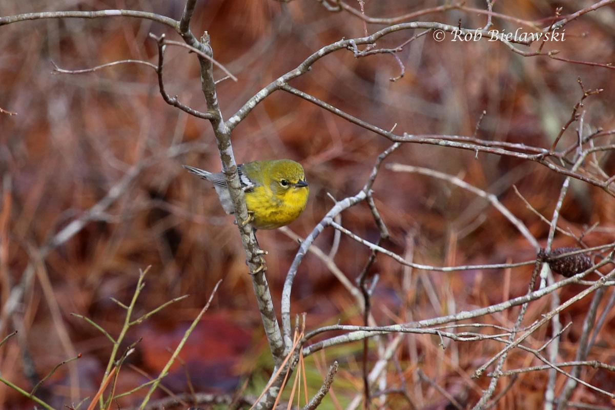 Pine Warbler at First Landing State Park.