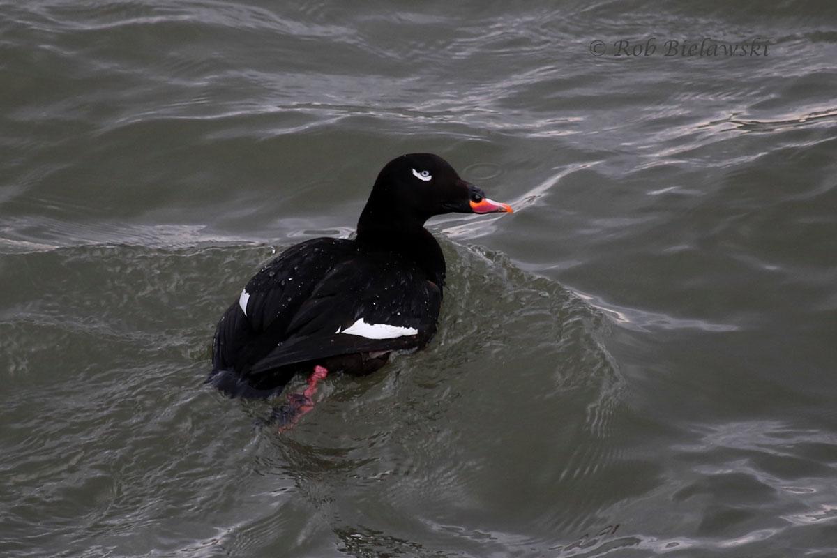 Male White-winged Scoter in fresh breeding plumage swimming beneath the Bonner Bridge at Oregon Inlet.