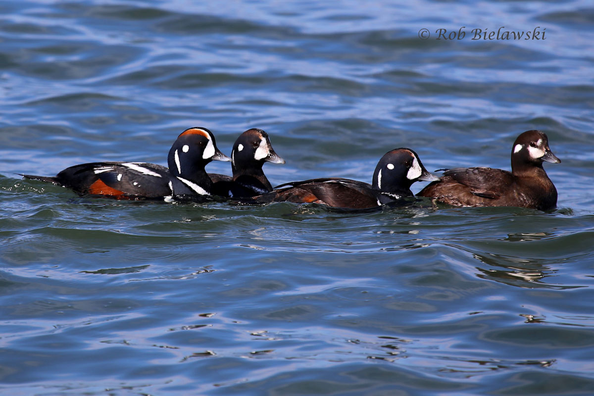 4 of the 5 Harlequin Ducks (3 males, 2 females) in Oregon Inlet just off the jetty walkway.