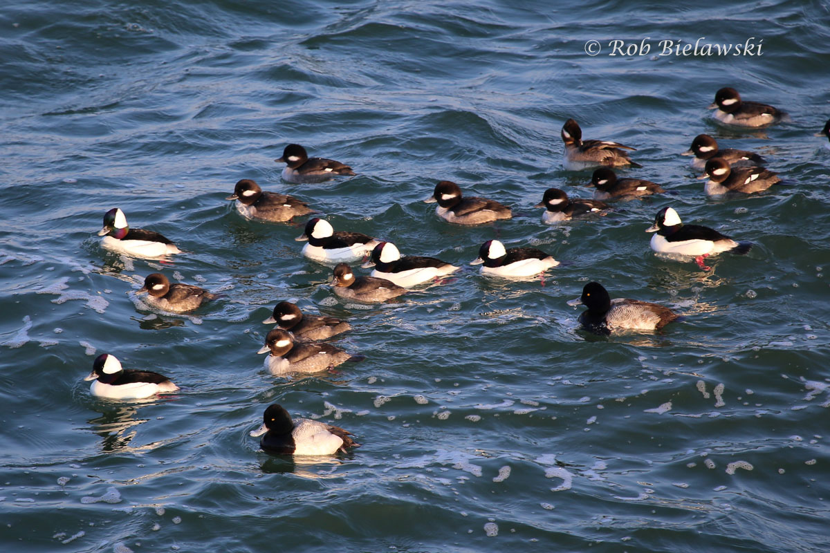 Buffleheads & Lesser Scaup swimming on the east side of South Thimble Island.