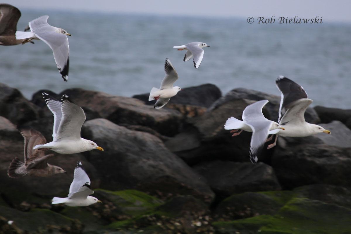 Five different species of gulls in flight: Black-headed, Bonaparte's, Great Black-backed, Herring, & Ring-billed.