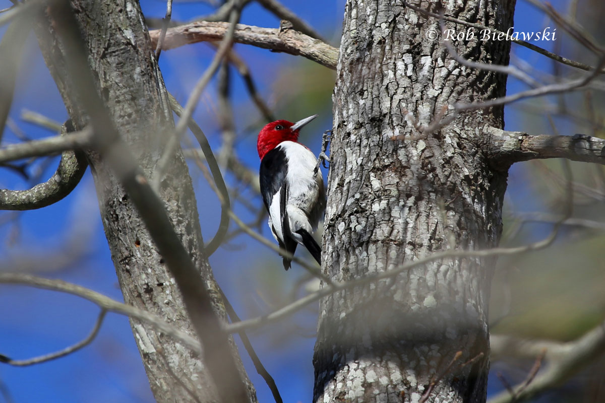 Red-headed Woodpecker standing out against a beautiful blue sky along the Cape Henry Trail.