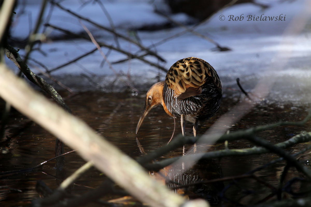 King Rail feeding in a small melt-water pond in the underbrush of Back Bay NWR.