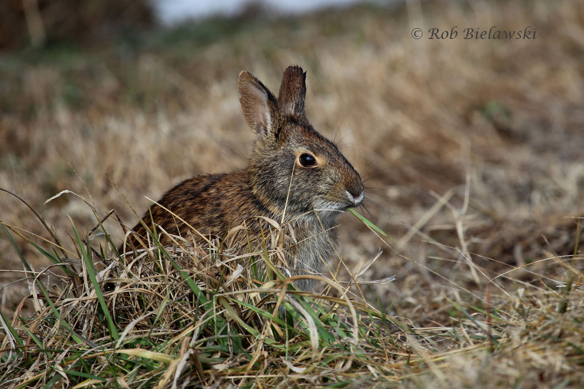 Rabbit grazing along the main gravel roadway south of the contact station gate.