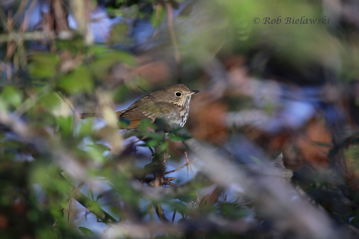 A Hermit Thrush mixes in with the beautiful sunlit backdrop of a holly tree at Kiptopeke State Park.