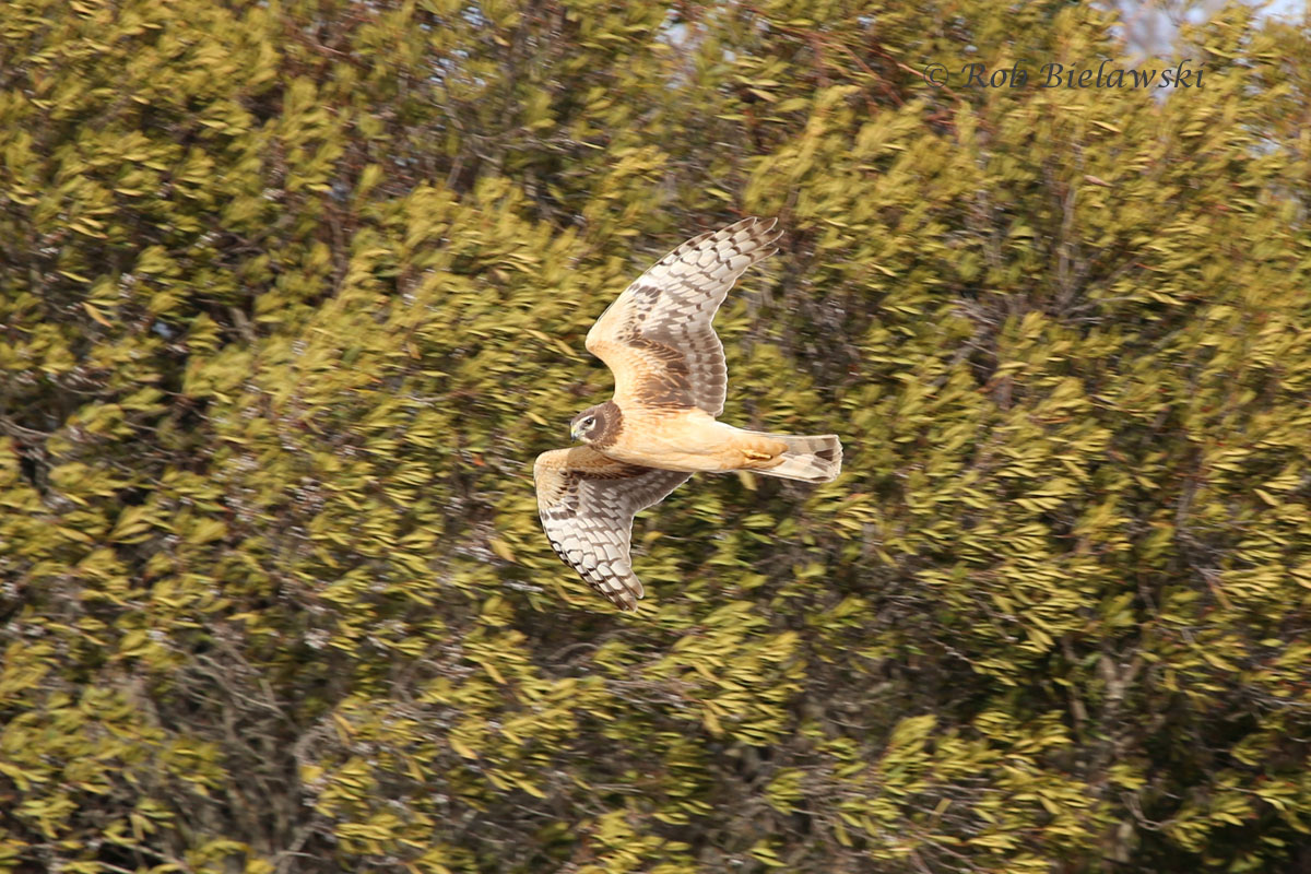 Juvenile Northern Harrier banking around some trees near the kayak launch at the visitor's center.
