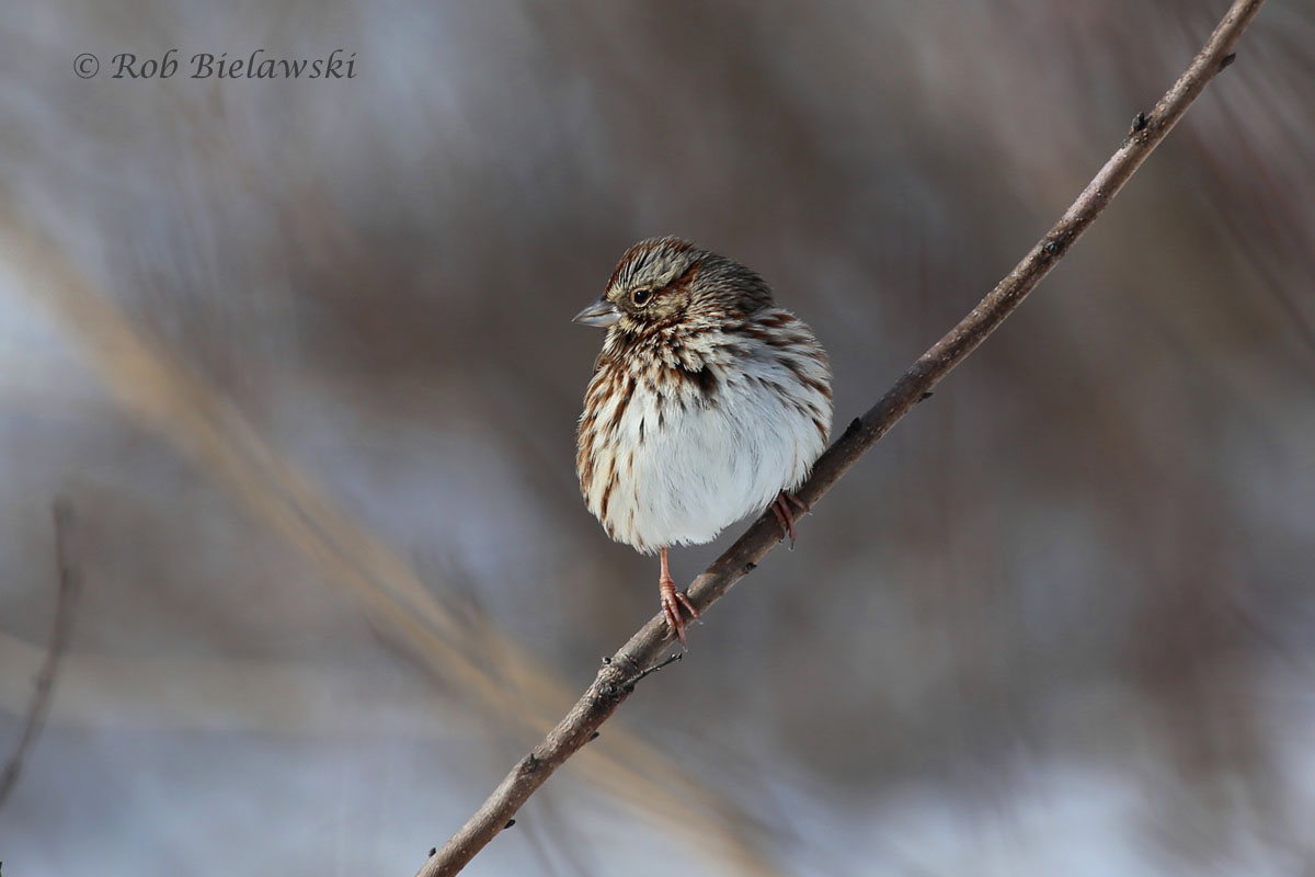 A Song Sparrows sits atop a small shrub that has become enshrouded in fresh snow.