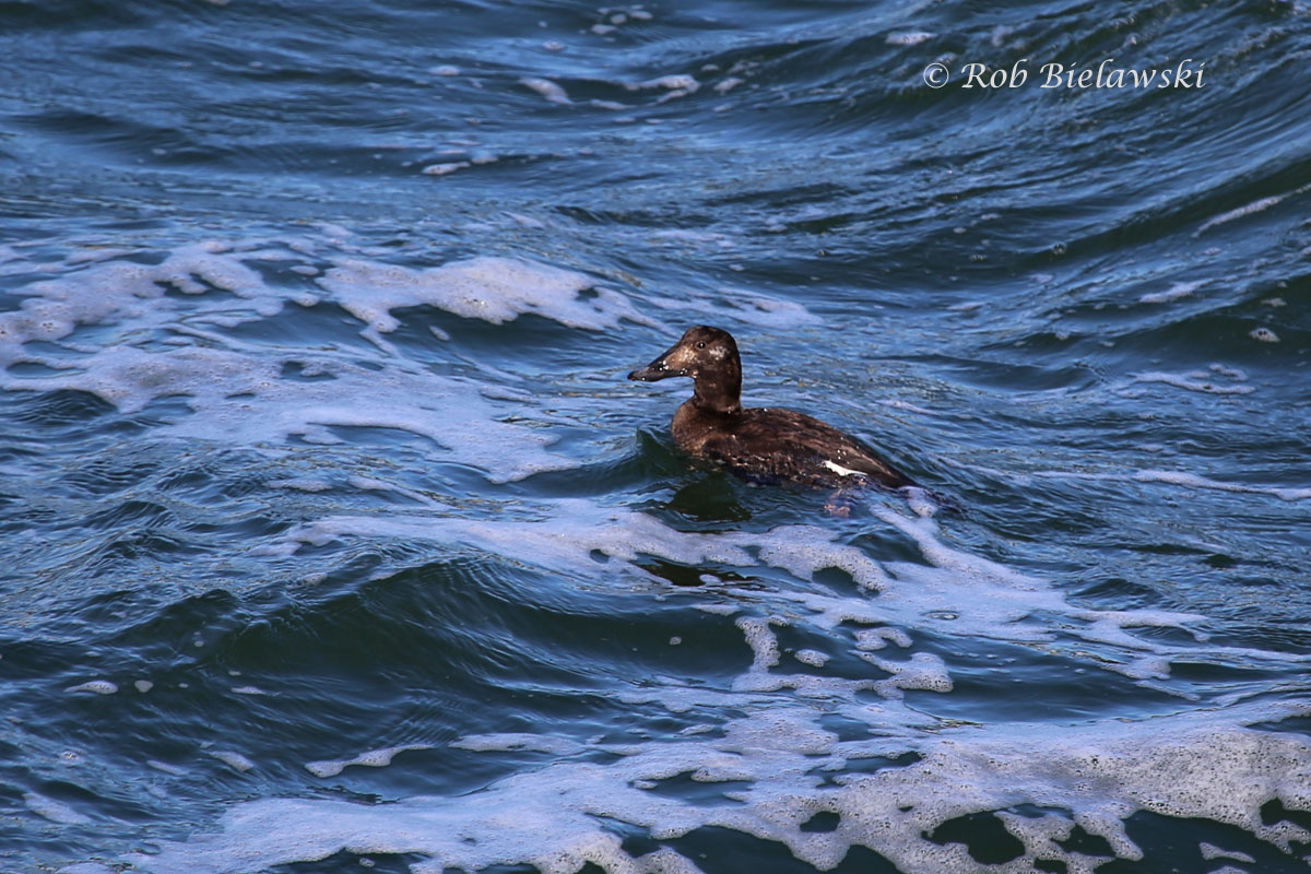 This female is the first White-winged Scoter I have ever seen in the wild. The small white patch on it's back (wings) is the distinguishing mark for this species. It helps differentiate it from the related Black Scoter, which lacks the patch.