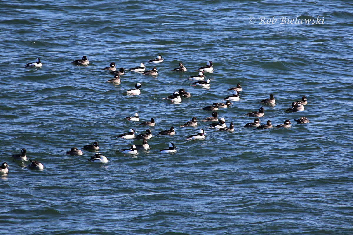 A raft of Buffleheads hunting the shallows surrounding the north end of South Thimble Island at the mouth of the Chesapeake Bay.
