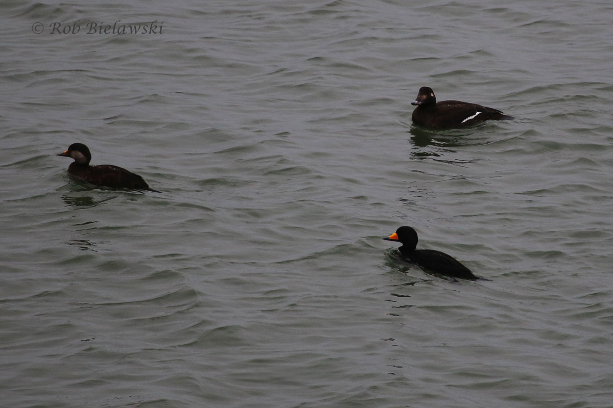 Black Scoters & White-winged Scoter