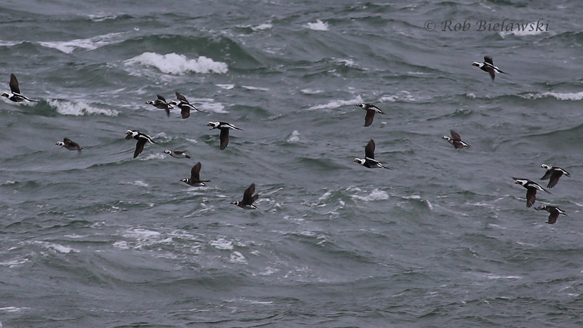 Long-tailed Ducks