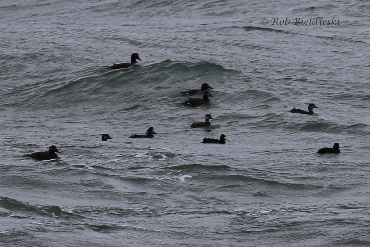 Common Eider, Black & White-winged Scoters