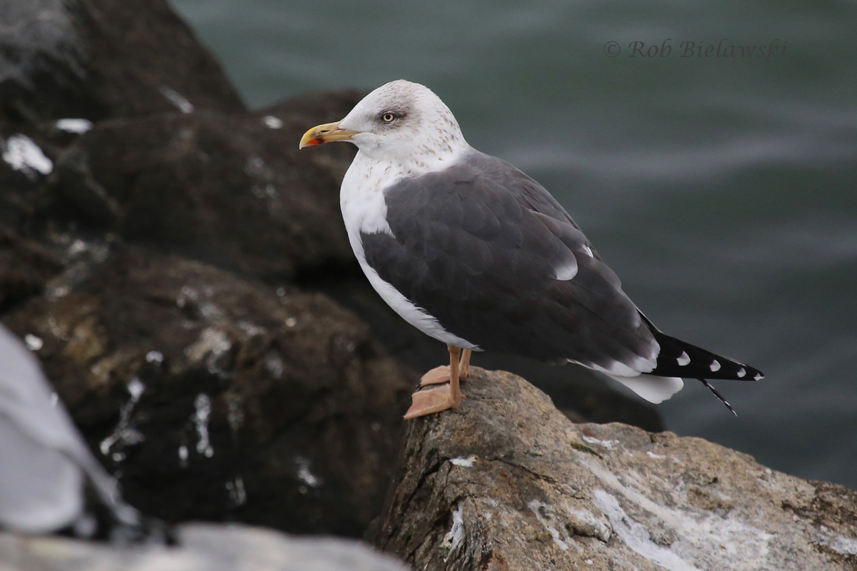 with it's yellow legs and bill, and very dark back, this is a Lesser Black-backed Gull, less common than the more abundant species here in winter.