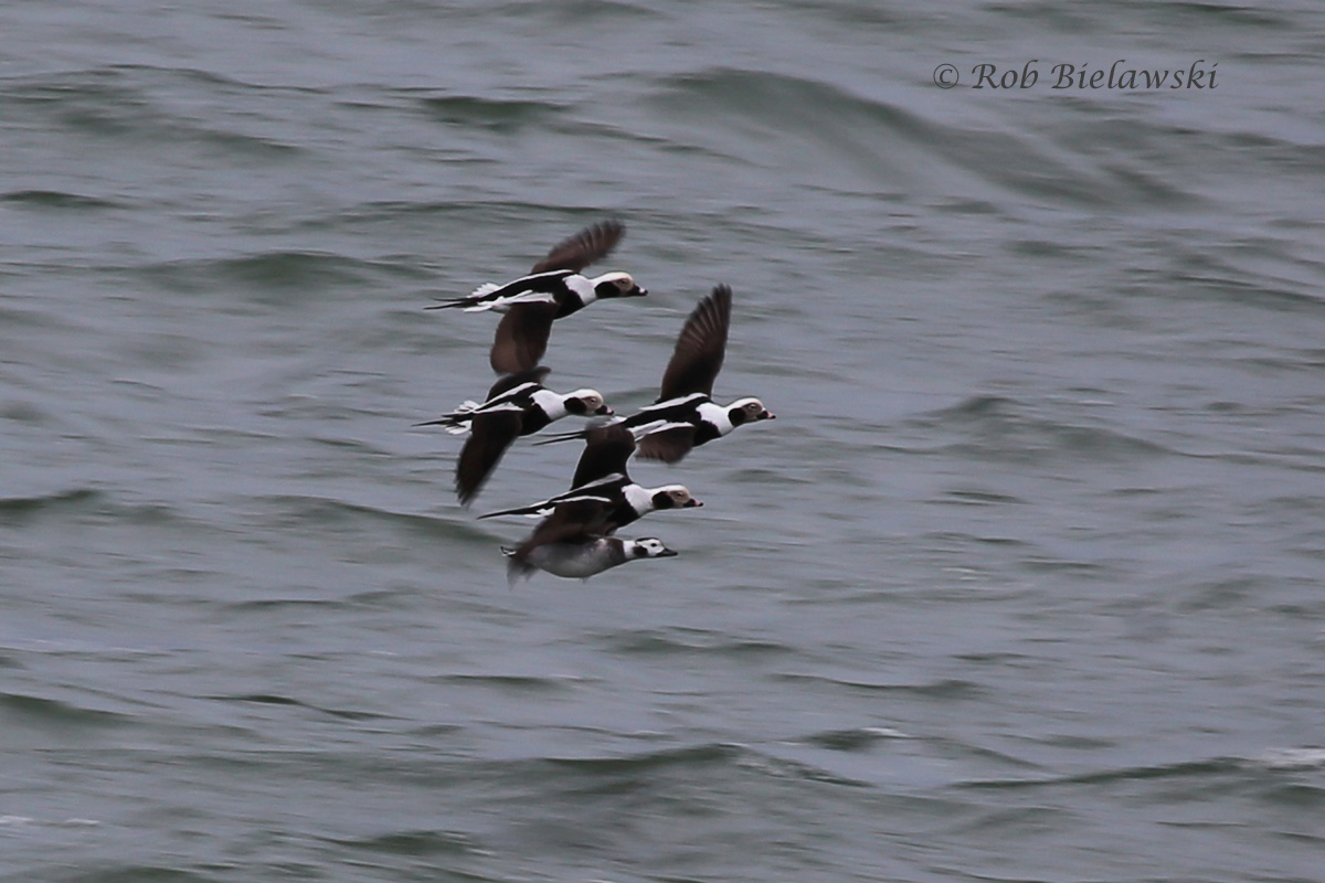 My favorite winter ducks in our area on a flyby, Long-tailed Ducks!