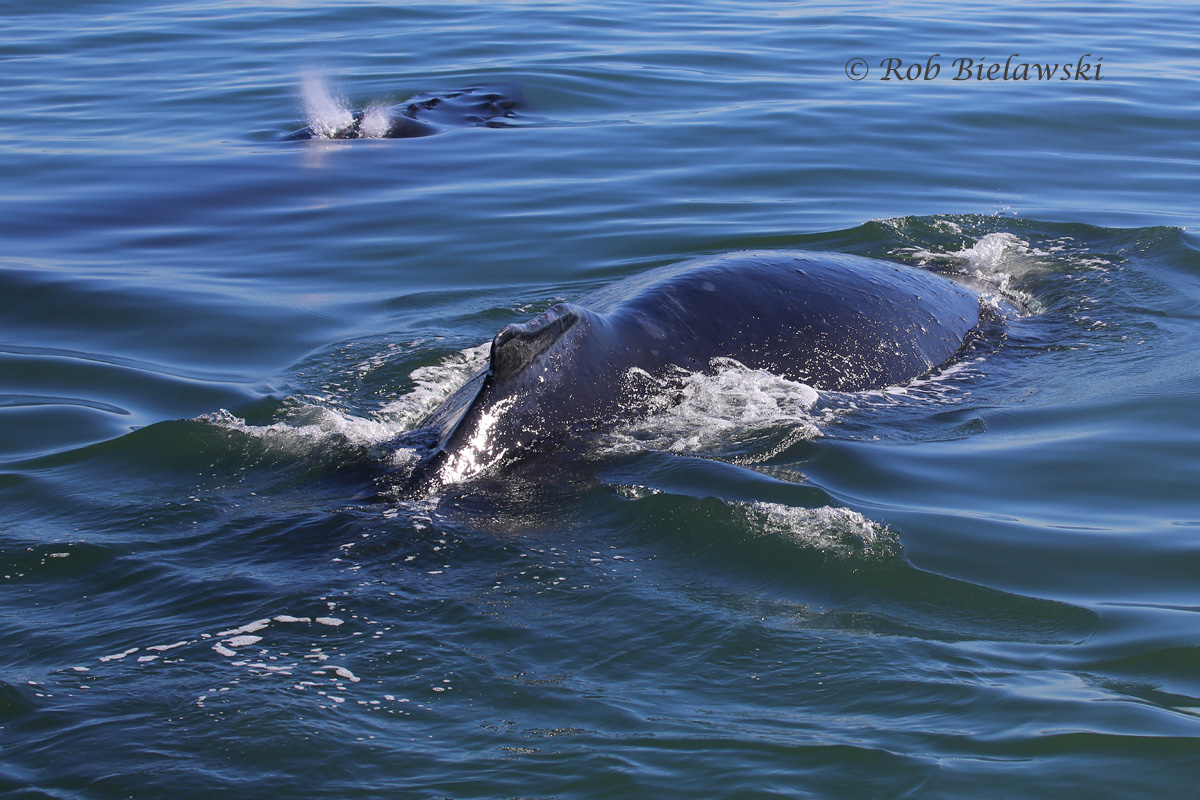 A mother & calf Humpback Whale breaking the surface just 50 feet off the bow of the Rudee Flipper, an incredible experience!