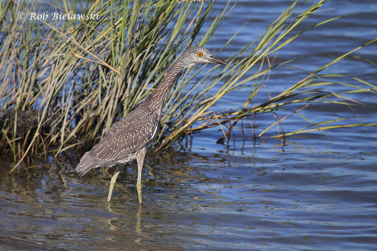 Yellow-crowned Night-Heron immature up at Pleasure House Point in Virginia Beach on Wednesday.