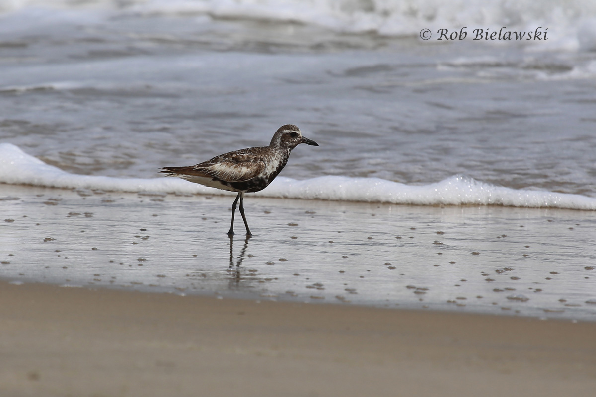 Black-bellied Plover along the beach at Back Bay NWR!