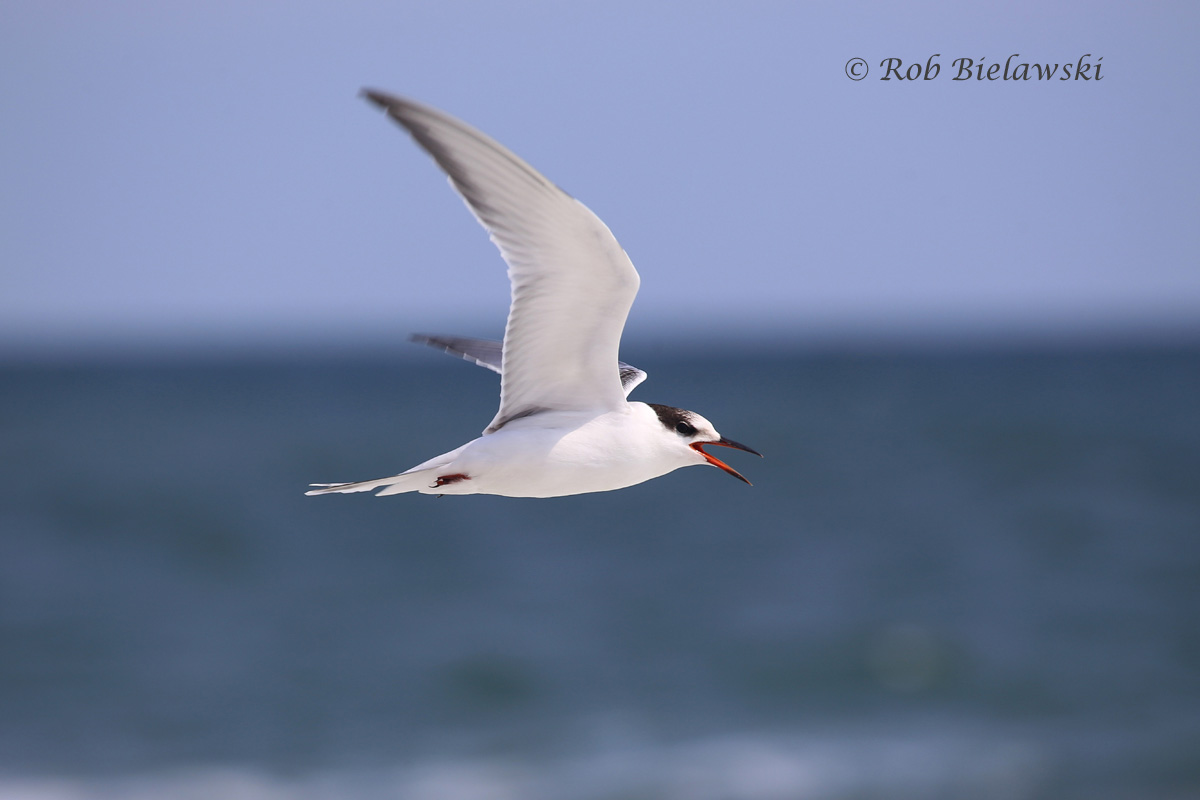 Common Tern flying into a strong headwind at Back Bay NWR!