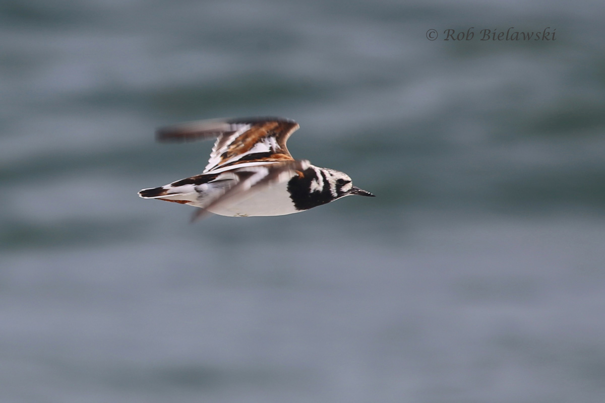 One of the more beautifully marked shorebirds, a Ruddy Turnstone, in flight at Back Bay!