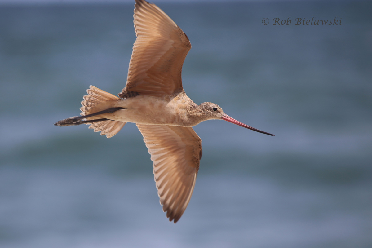 The same Marbled Godwit in flight after a pair of walkers walked too close to it.