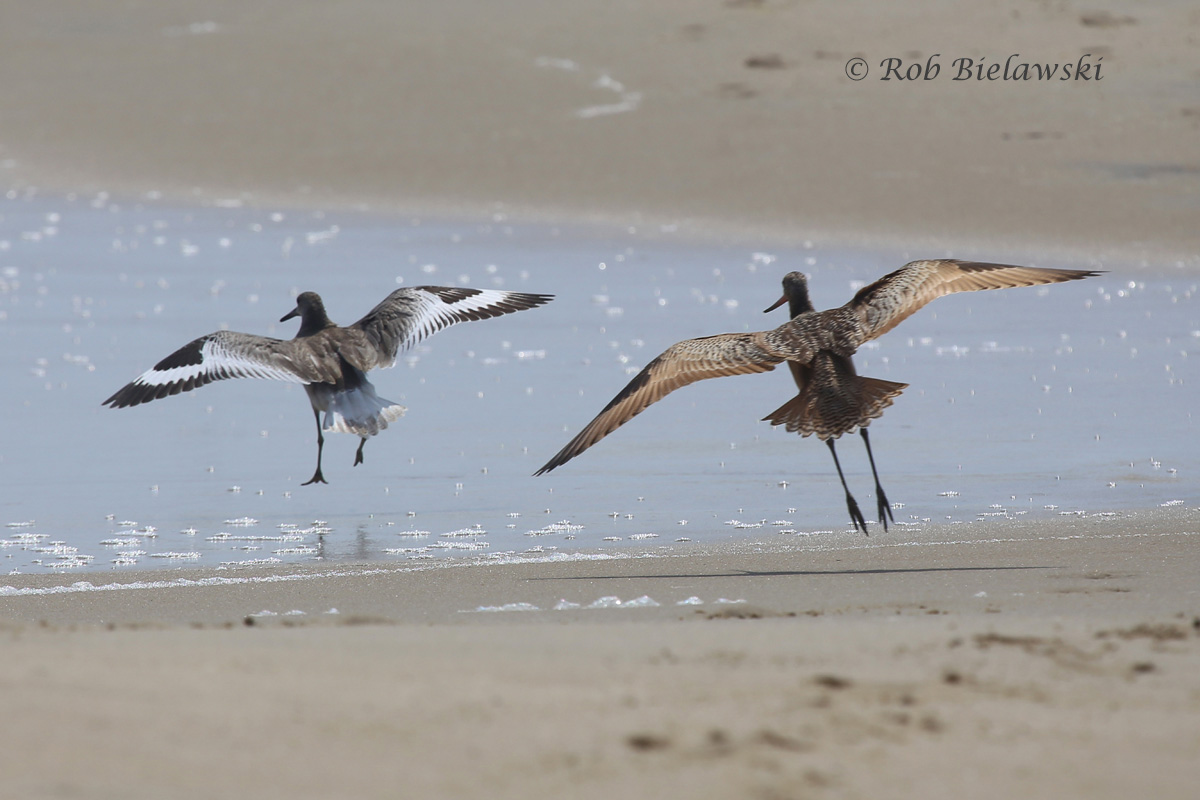 Willet on the left, and Marbled Godwit on the right, showing off the difference in size between these two species!