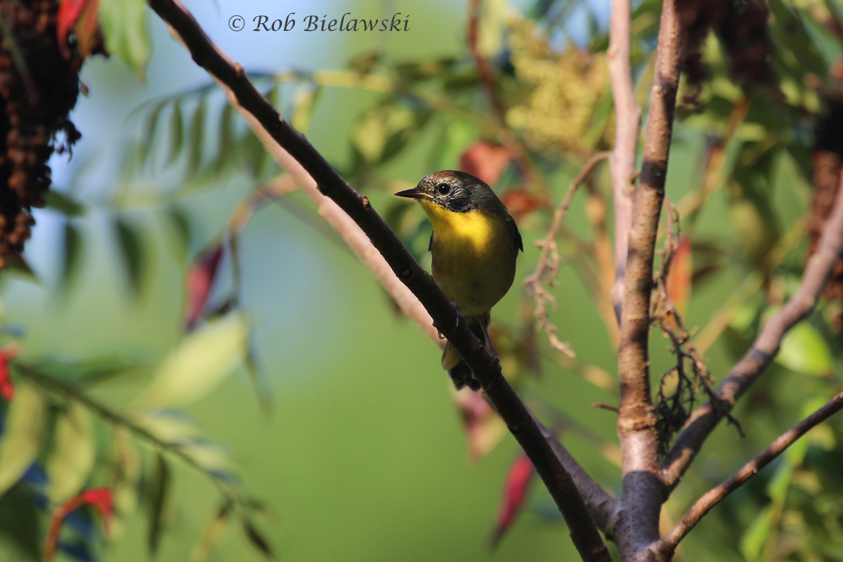 Common Yellowthroat starting to lose it's breeding plumage (black around face disappearing) seen at Eastern Shore NWR on Sunday!