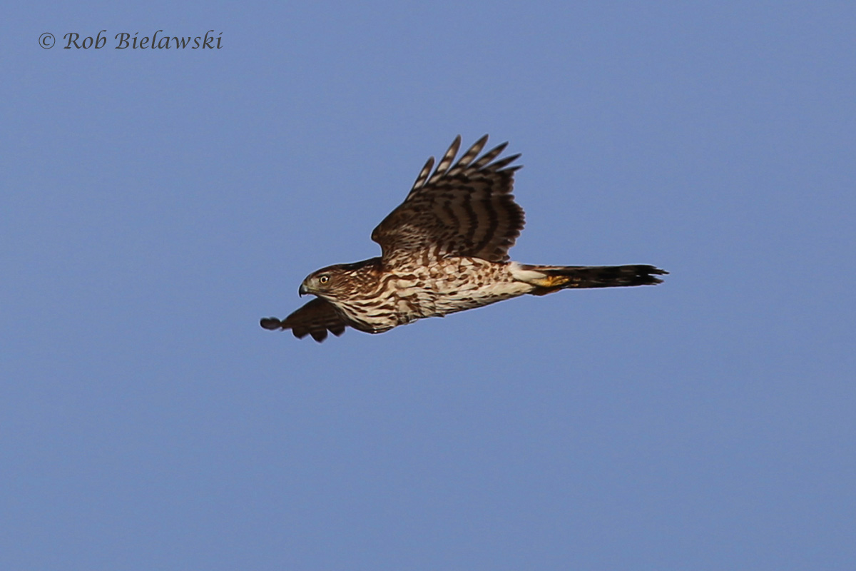 A Sharp-shinned Hawk cruising along the strong winds at Pleasure House Point.